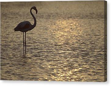 Flamingo Standing In Lake In France By The Light Of The Setting Sun Canvas Print