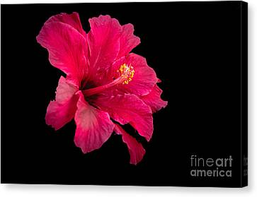 Haybales Canvas Print - Floating  Hibiscus by Robert Bales
