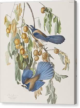 Florida Jay Canvas Print by John James Audubon
