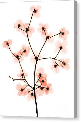 Flowering Dogwood X-ray Canvas Print