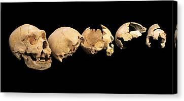 Fossilised Skulls, Sima De Los Huesos Canvas Print by Javier Truebamsf