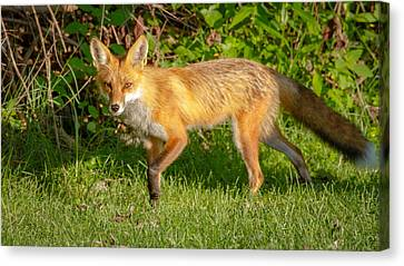 Fox Portrait  Canvas Print by Brian Caldwell
