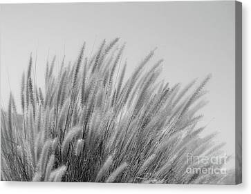 Foxtails On A Hill In Black And White Canvas Print