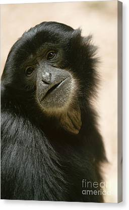 Funky Gibbon Canvas Print