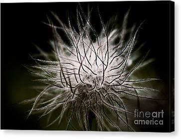 Pulsatilla Vulgaris Canvas Print - Fuzzy Flower Seedhead by Venetta Archer