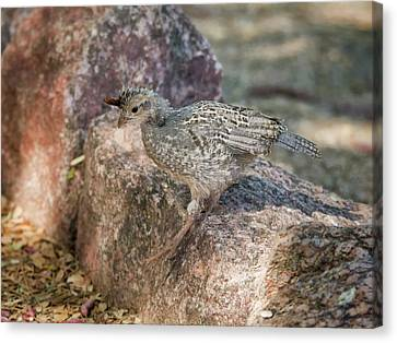 Gambel's Quail Chick 3515 Canvas Print by Tam Ryan