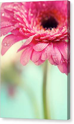 Gerbera Flowers Canvas Print by Natalia Klenova