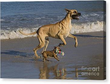 Dog At Play Canvas Print - Giant And Tiny Dogs by Jean-Louis Klein & Marie-Luce Hubert