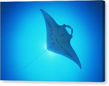 Giant Manta Ray Canvas Print by Matthew Oldfield