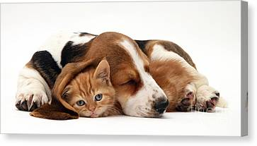 Ginger Kitten And Basset Puppy Canvas Print