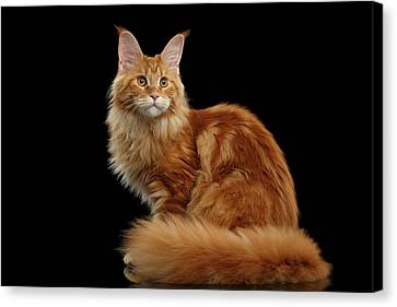Ginger Maine Coon Cat Isolated On Black Background Canvas Print by Sergey Taran