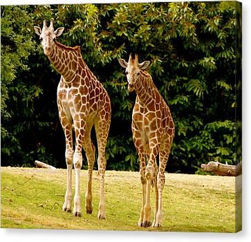 Giraffe Family Canvas Print by Sonja Anderson