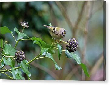 Goldcrest Canvas Print