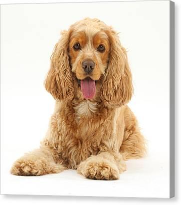 House Pet Canvas Print - Golden Cocker Spaniel Dog by Mark Taylor