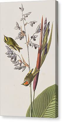 Wren Canvas Print - Golden-crested Wren by John James Audubon