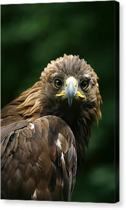 Golden Eagles Face Aquila Chrysaetos Canvas Print by Deddeda