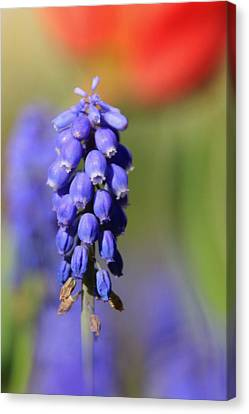 Canvas Print featuring the photograph Grape Hyacinth by Chris Berry