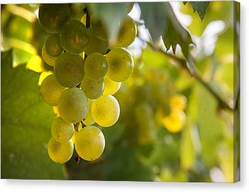 Grapes Filled With Sun Canvas Print