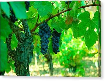 Vintner Canvas Print - The Beauty Of Grapes On The Vine by Jeff Swan