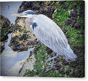 Canvas Print featuring the photograph Great Blue Heron by AJ Schibig