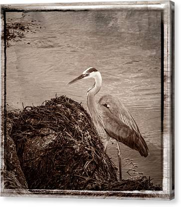 Great Blue Heron Canvas Print by Frank Winters