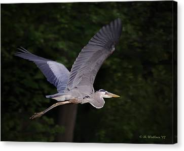 Great Blue Heron In Flight Canvas Print by Brian Wallace