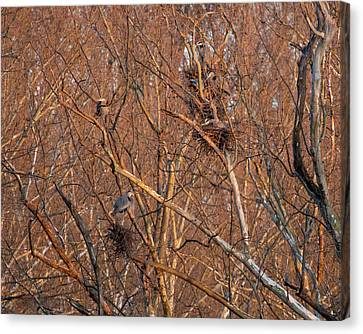 Great Blue Heron Nests Canvas Print
