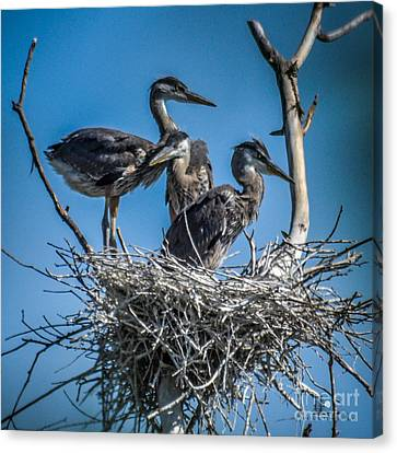 Great Blue Heron On Nest Canvas Print