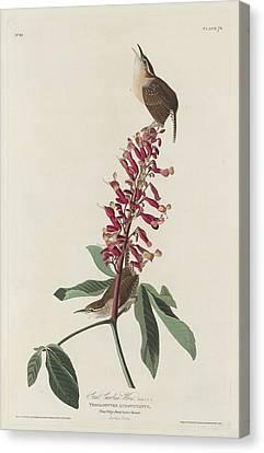 Great Carolina Wren Canvas Print