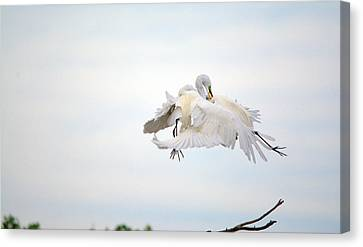 Great Egrets Mating Dispute Series  Canvas Print