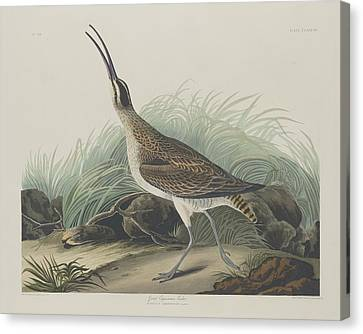 Seagull Canvas Print - Great Esquimaux Curlew by Dreyer Wildlife Print Collections