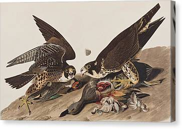 Great-footed Hawk Canvas Print by John James Audubon