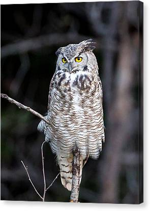 Great Horned Owl  Canvas Print by Jack Bell