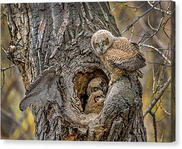 Great Horned Owlets In A Nest Canvas Print