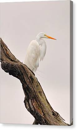 Canvas Print - Great White by Donnie Smith
