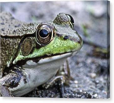Green Frog Canvas Print by Michael Peychich