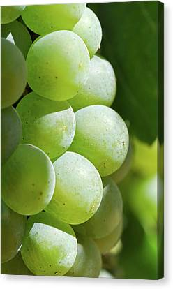 Wine Canvas Print - Green Grapes Close Up In Napa Valley Ready To Be Made Into Wine by Brandon Bourdages