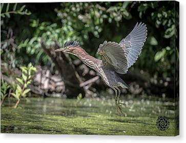 Green Heron Assabet River Massachusetts Canvas Print by Stephen Beyer