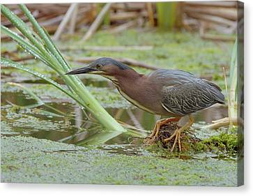 Green Heron Canvas Print by Doug Herr