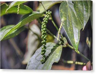 green pepper in Kerala - India Canvas Print