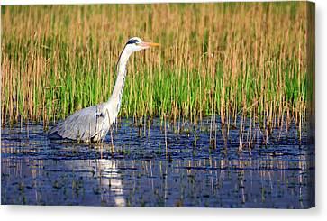 Grey Heron, Ardea Cinerea, In A Pond Canvas Print
