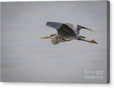 Grey Heron Canvas Print by Jivko Nakev