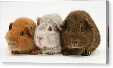 Cavy Canvas Print - Guinea Pigs by Jane Burton