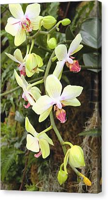 Hanging Orchids Canvas Print by Mindy Newman