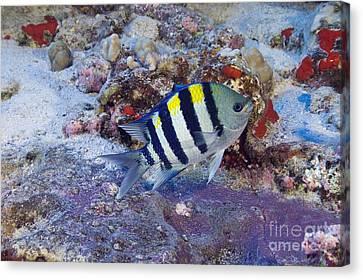 Hawaii, Marine Life Canvas Print by Dave Fleetham - Printscapes