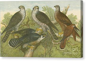 Falcons Canvas Print - Hawks And Falcons by English School
