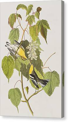 Hemlock Warbler Canvas Print by John James Audubon