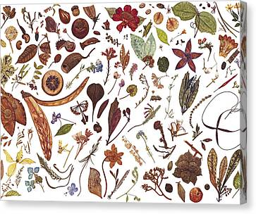 Herbarium Specimen Canvas Print by Rachel Pedder-Smith