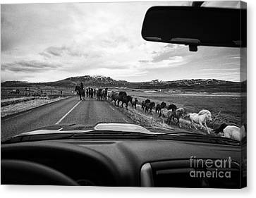Herd Of Icelandic Horses Being Driven Across The Road Iceland Canvas Print by Joe Fox