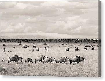 Herd Of Wildebeestes Canvas Print
